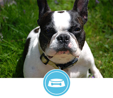 Chicago French Bulldog Rescue |