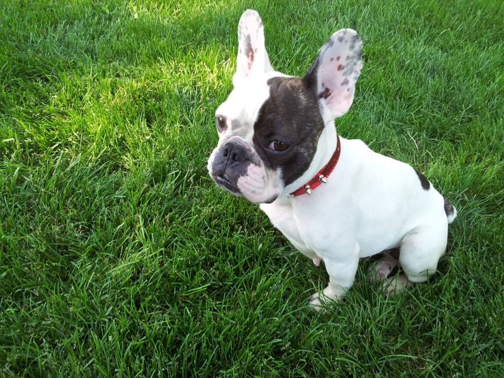 french bulldog rescues chicago french bulldog rescue 6210